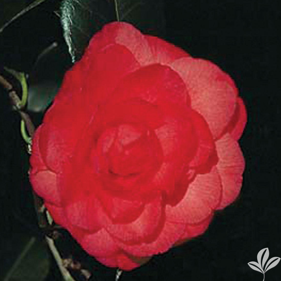 Arctic Rose