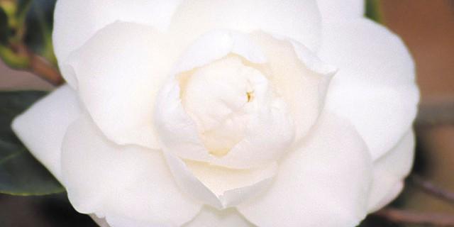 Chisato No Aki Cam Too Camellia Nursery