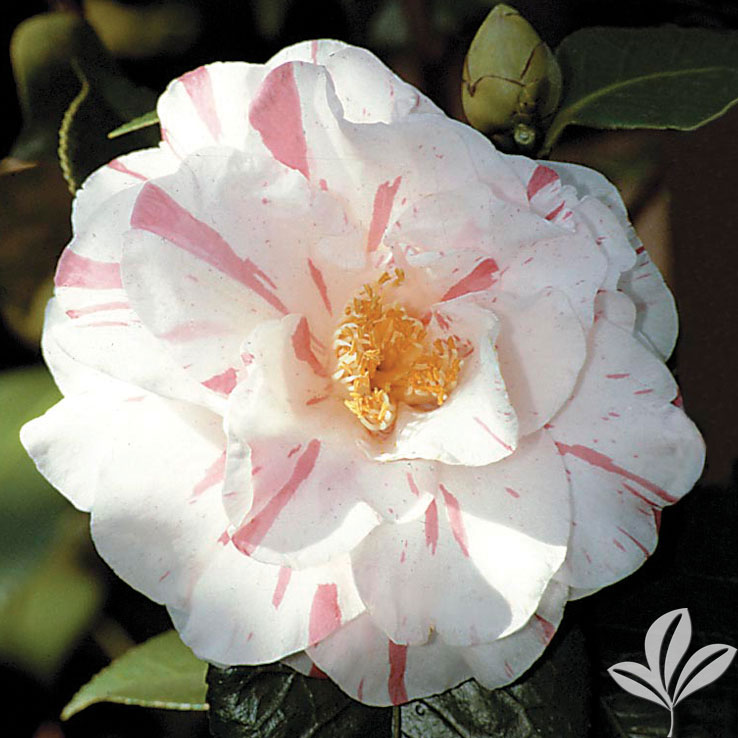 Herme White