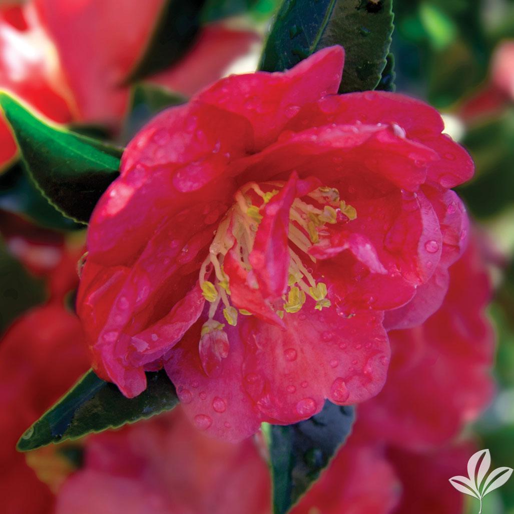 October Magic Rose