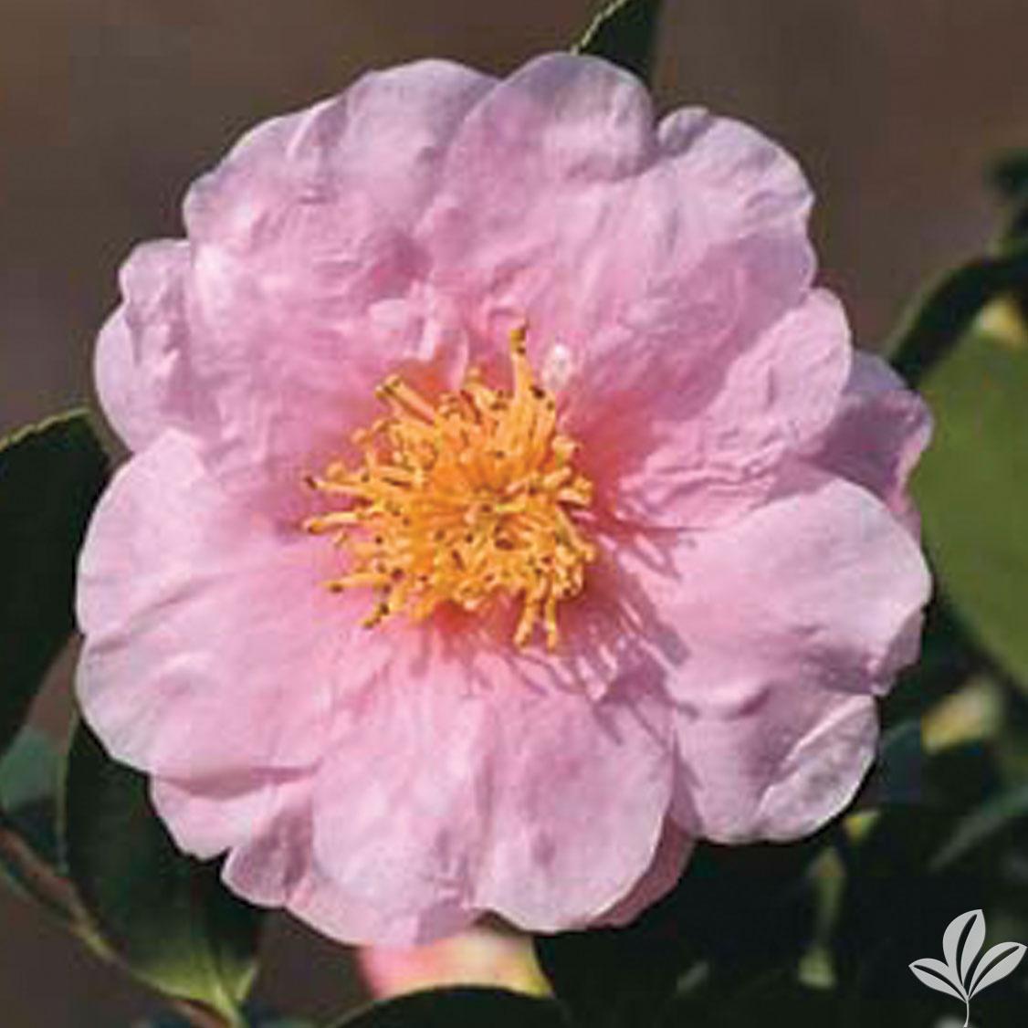 Pink Goddess