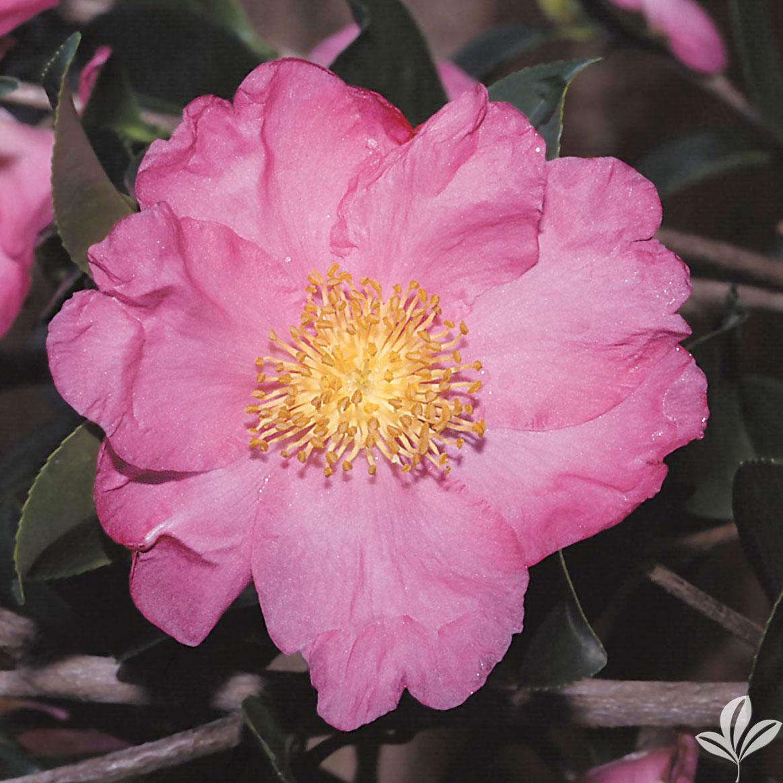 Pink Serenade