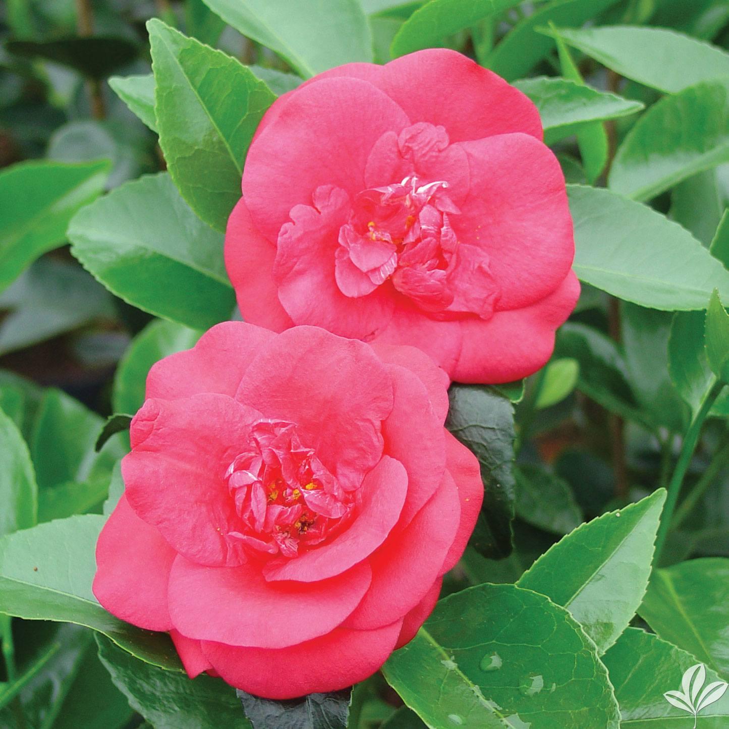 Rosehill Red