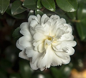 October Magic® Ivory™ Camellia