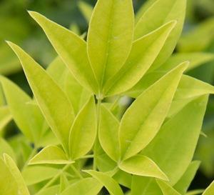 'Lemon Lime' Nandina