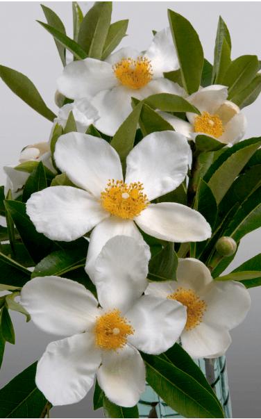 'Sweet Tea' Mountain Gordlinia