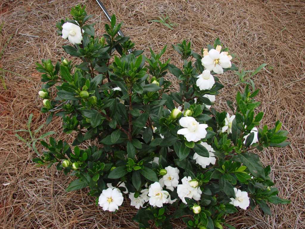Gardenia augusta Double Mint