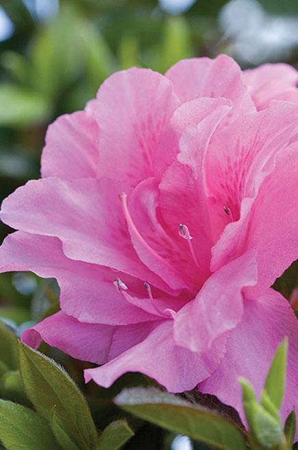 Encore® Autumn Carnation™
