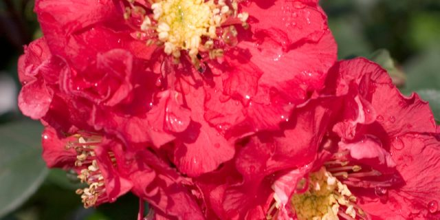 Double Take Pink™ Quince