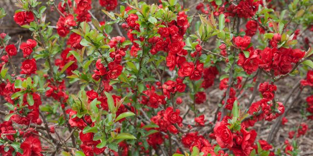 Double Take Scarlet™ Quince